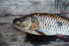 Freshwater fish of Thailand, Hampala barb Royalty Free Stock Photography