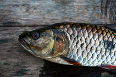 Freshwater fish of Thailand, Hampala barb Royalty Free Stock Image