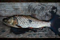 Freshwater fish of Thailand, Hampala barb Stock Images