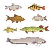 Freshwater fish - vector illustration. Freshwater fish - set of different fishes. Vector illustration. EPS8 Royalty Free Stock Images