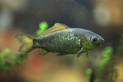 Freshwater fish. Stock Photos