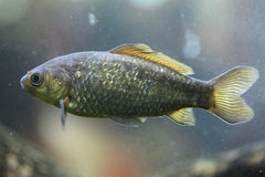 Freshwater fish. Royalty Free Stock Photography