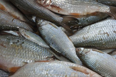 Freshwater fishes Stock Photography