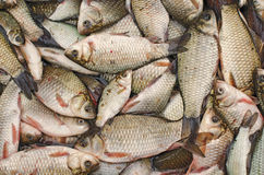 Freshwater Fishes. Heap of Freshwater Rudd Fishes Stock Images