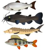 Freshwater fishes Royalty Free Stock Photos