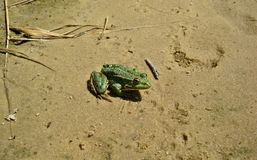 Freshwater frog sitting on the summer sand near the reservoir Royalty Free Stock Images