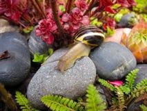 Freshwater garden snail slug slowly crawls on the rock Royalty Free Stock Photos