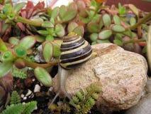 Freshwater garden snail slug slowly crawls on the rock Stock Photos