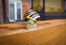 Freshwater garden snail slug slowly crawls on the wooden beam Stock Photography