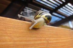 Freshwater garden snail slug slowly crawls on the wooden beam Royalty Free Stock Images