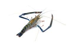 Freshwater Giant prawn on white Royalty Free Stock Image