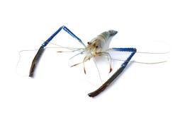 Freshwater Giant prawn on white Royalty Free Stock Images