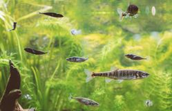 Freshwater green aquarium. Freshwater green aquarium with plants and fishes Stock Photos