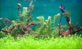Freshwater green aquarium. Royalty Free Stock Photo