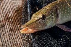 Close up view of big freshwater pike lies on black fishing net. Freshwater Northern pike fish know as Esox Lucius lying on black fishing net. Fishing concept Stock Photo