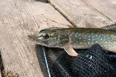 Close up view of big freshwater pike lies on black fishing net. Freshwater Northern pike fish know as Esox Lucius lying on black fishing net. Fishing concept Stock Images