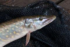Close up view of big freshwater pike lies on black fishing net. Freshwater Northern pike fish know as Esox Lucius lying on black fishing net. Fishing concept Royalty Free Stock Photography