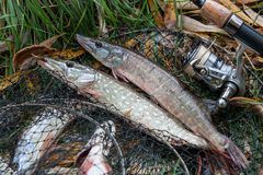 Close up view of freshwater pike fish lies on landing net with f. Freshwater Northern pike fish know as Esox Lucius lying on landing net and fishing equipment Stock Image