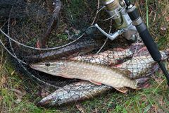 Close up view of freshwater pike fish lies on landing net with f. Freshwater Northern pike fish know as Esox Lucius lying on landing net and fishing equipment Stock Images