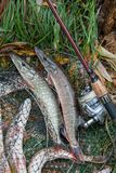 Close up view of freshwater pike fish lies on landing net with f. Freshwater Northern pike fish know as Esox Lucius lying on landing net and fishing equipment Royalty Free Stock Image