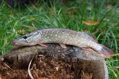 Freshwater pike fish lies on a wooden hemp. Freshwater Northern pike fish know as Esox Lucius lying on a wooden hemp. Fishing concept, good catch - big Stock Photo