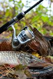 Freshwater pike fish lies on a wooden hemp and fishing rod with Royalty Free Stock Images