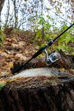Freshwater pike fish lies on a wooden hemp and fishing rod with. Freshwater Northern pike fish know as Esox Lucius lying on a wooden hemp and fishing equipment Stock Photos