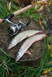 Freshwater pike fish lies on a wooden hemp and fishing rod with Stock Image