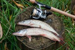 Freshwater pike fish lies on a wooden hemp and fishing rod with Stock Images