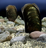 Freshwater pearl mussel Stock Image