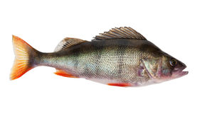 Freshwater perch Royalty Free Stock Photos