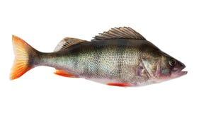 Freshwater perch Royalty Free Stock Photos