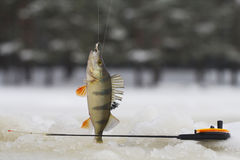 Freshwater perch fishing Stock Photography