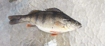 Freshwater perch on ice Stock Photo