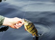 Freshwater Perch pulled from the lake. Fisherman pulling a freshwater Perch from the lake after being caught royalty free stock photo