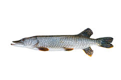 Freshwater pike Stock Photos