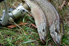 Freshwater pike fish and fishing equipment lies on green grass. Freshwater Northern pike fish know as Esox Lucius  and fishing rod with reel lying on green Royalty Free Stock Image