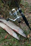 Freshwater pike fish and fishing equipment lies on green grass. Freshwater Northern pike fish know as Esox Lucius  and fishing rod with reel lying on green Royalty Free Stock Photography