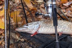 Freshwater pike fish. Freshwater pike fish, fishing rod with reel and black landing net as background. Fishing concept, trophy catch - big freshwater pike fish royalty free stock image