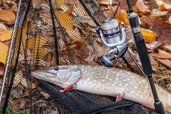 Freshwater pike fish. Freshwater pike fish, fishing rod with reel and black landing net as background. Fishing concept, trophy catch - big freshwater pike fish royalty free stock images