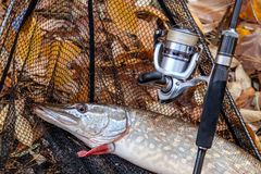 Freshwater pike fish. Freshwater pike fish, fishing rod with reel and black landing net as background royalty free stock photos