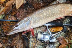Freshwater pike fish. Freshwater pike fish lies on landing net with fishery catch in it and fishing rod with reel stock images