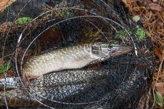 Freshwater pike fish lies in landing net with fishery catch in i. Freshwater Northern pike fish know as Esox Lucius lying in landing net. Fishing concept, good Royalty Free Stock Photos