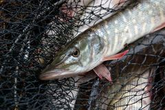 Freshwater pike fish lies in landing net with fishery catch in it royalty free stock image