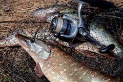 Freshwater pike fish. Freshwater pike fish lies on round keepnet with fishery catch in it and fishing rod with reel stock photo