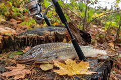 Freshwater pike fish lies on a wooden hemp and fishing rod with. Freshwater Northern pike fish know as Esox Lucius lying on a wooden hemp and fishing equipment Stock Photo