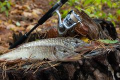 Freshwater pike fish lies on a wooden hemp and fishing rod with. Freshwater Northern pike fish know as Esox Lucius lying on a wooden hemp and fishing equipment Royalty Free Stock Photos