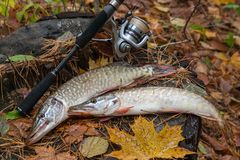 Freshwater pike fish lies on a wooden hemp and fishing rod with Stock Photos
