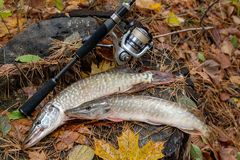 Freshwater pike fish lies on a wooden hemp and fishing rod with. Freshwater Northern pike fish know as Esox Lucius lying on a wooden hemp and fishing equipment Royalty Free Stock Image