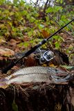 Freshwater pike fish lies on a wooden hemp and fishing rod with reel royalty free stock images